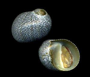 Clithon retropictum - Clithon retropictum shells