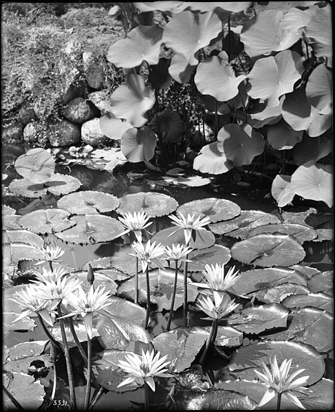 File:Close-up view of a water lily pond on the grounds of The Huntington, San Marino, ca.1920 (CHS-5531).jpg