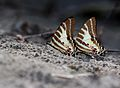 Close wing position of Graphium aristeus Stoll, 1782 – Chain Swordtail.jpg