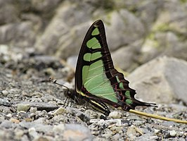 Close wing position of Graphium cloanthus Westwood, 1841 – Glassy Bluebottle.jpg