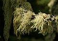 Clumped Moss (1825268259).jpg