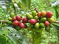 Clumps of coffee berries growing on a tree, by Brian Smith.jpg