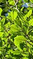 Coccoloba oblonga Lindau - Flickr - Alex Popovkin, Bahia, Brazil (16).jpg