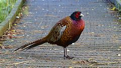 240px cock pheasant on brownsea island (9758593741)