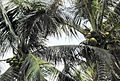 Coconut trees (14).JPG