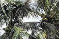 Coconut trees (14).JPG