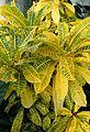 Codiaeum variegatum pictum kz3.jpg
