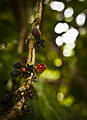 Coffee beans ripening.jpg