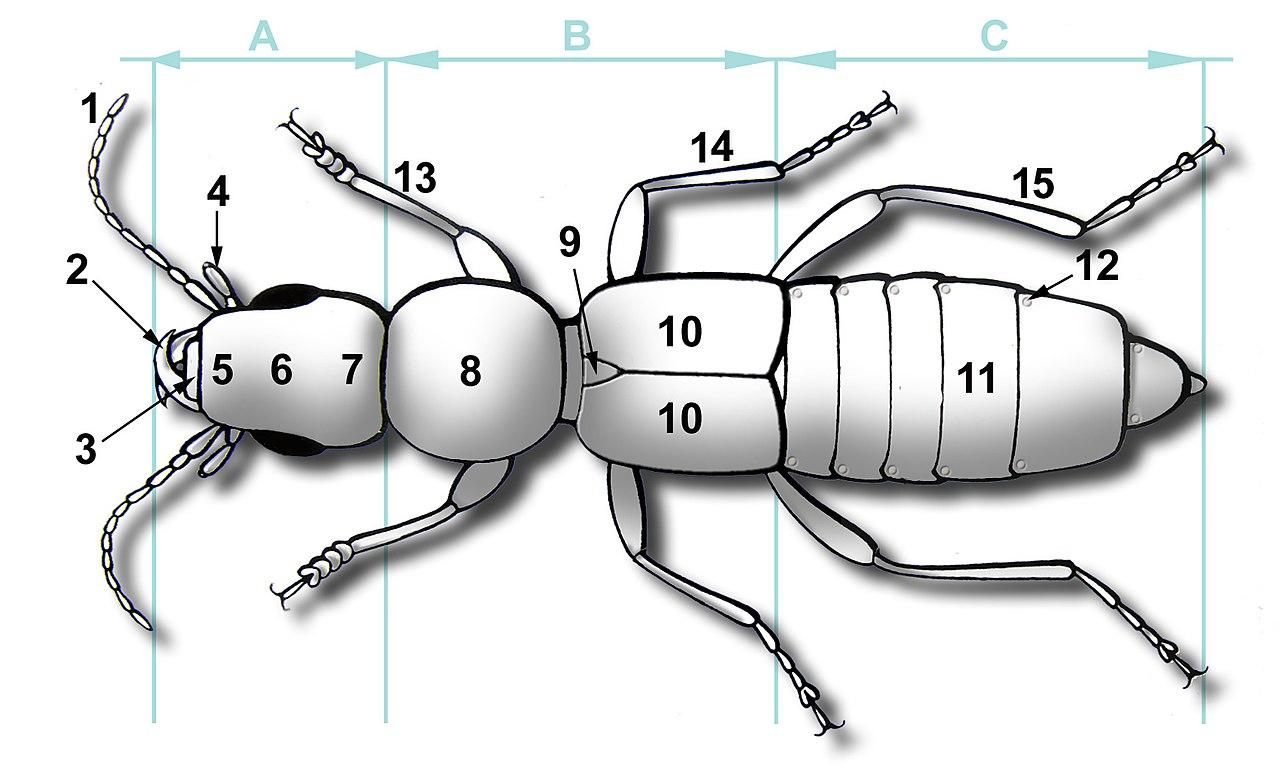 Scutellum (insect anatomy) - Wikiwand