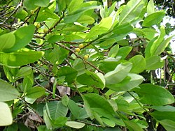 definition of erythroxylaceae
