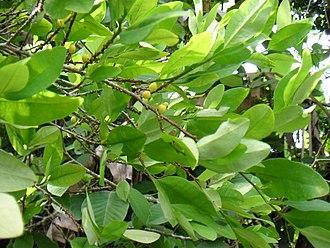 Erythroxylaceae - Erythroxylum coca