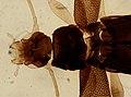 Coleoptera (YPM IZ 093859).jpeg