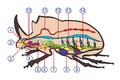 Coleoptera anatomy.png