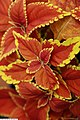 Coleus scutellarioides Rustic Orange 2zz.jpg