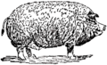Collier's 1921 Hog Poland-China Boar.png