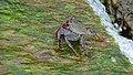 Coloful crab (Porto Moniz) (38064736482).jpg