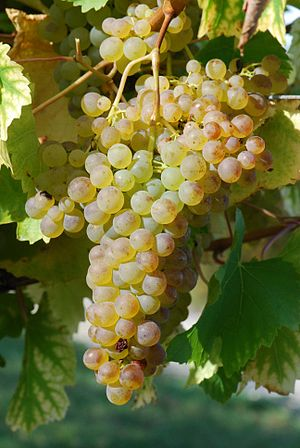 Colombard - Colombard grapes