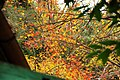 Colored leaves - panoramio.jpg