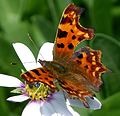 Comma - Flickr - gailhampshire.jpg
