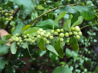 <i>Commiphora wightii</i> Species of plant