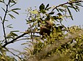 Common Babbler Turdoides caudata Kutch Gujarat IMG 2514 (8).JPG