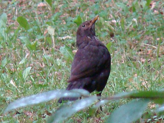 Common Blackbird-Mindaugas Urbonas-3