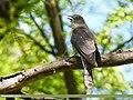 Common Hawk-cuckoo (Hierococcyx varius) (46523229442).jpg