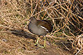 Common Moorhen immature.jpg