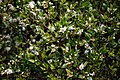 Common Myrtle, Myrtus communis, Highdown Gardens, Worthing 1.jpg