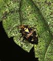 Common Nettle Capsid Bug - Liocoris tripustulatus (23864774576).jpg