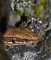 Common Wall Lizard (Podarcis muralis) (10251886423).jpg