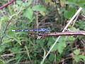 Common blue damselfly (Enallagma cyathigera), Sandy, Bedfordshire (5901902843).jpg