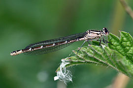 Common blue damselfly (Enallagma cyathigerum) heterochrome female.jpg
