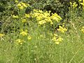 Common ragwort.JPG