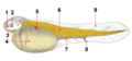 Common sturgeon larva tags added, colours.png
