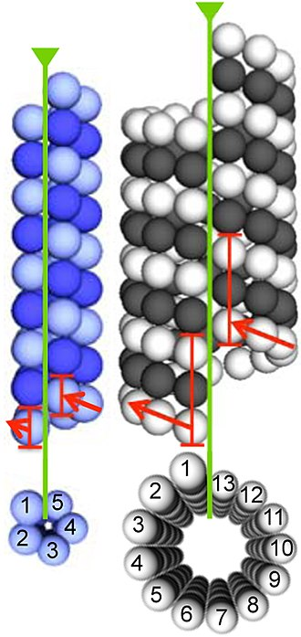 Tubulin - Comparison of the architectures of a 5-protofilament bacterial microtubule (left; BtubA in dark blue; BtubB in light-blue) and a 13-protofilament eukaryotic microtubule (right; α-tubulin in white; β-tubulin in black). Seams and start-helices are indicated in green and red, respectively.