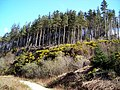 Conifers and Gorse on Moyle Hill - geograph.org.uk - 392738.jpg