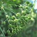 Conium maculatum fruit (02).jpg