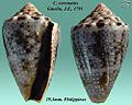 Conus coronatus 2.jpg