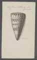 Conus litteratus - - Print - Iconographia Zoologica - Special Collections University of Amsterdam - UBAINV0274 086 02 0005.tif