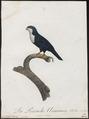 Coriphilus taitianus - 1796-1808 - Print - Iconographia Zoologica - Special Collections University of Amsterdam - UBA01 IZ18500268.tif