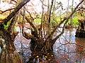 Corkscrew - bald cypresses.jpg