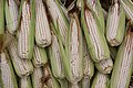 Corn - Zea mays.jpg