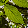 Cornus florida in Eastwoodhill Arboretum (3).jpg