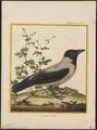 Corvus cornix - 1700-1880 - Print - Iconographia Zoologica - Special Collections University of Amsterdam - UBA01 IZ15700223.tif