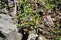 Corydalis linstowiana 02.jpg