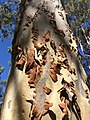 Corymbia citriodora - shedding bark 1.jpg