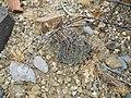 Coryphanhta dificilis (5672827143).jpg