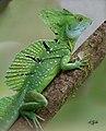 Costarica Ecocentrodanaus Arenal (17655398470).jpg