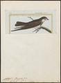 Cotile cincta - 1700-1880 - Print - Iconographia Zoologica - Special Collections University of Amsterdam - UBA01 IZ16700187.tif